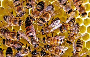 Как пчелы делают прополис?