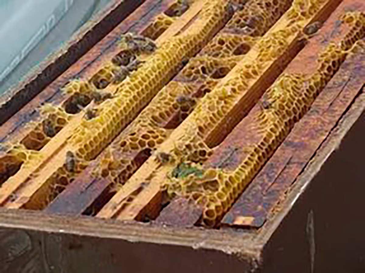 прополис фото в пчелином улье